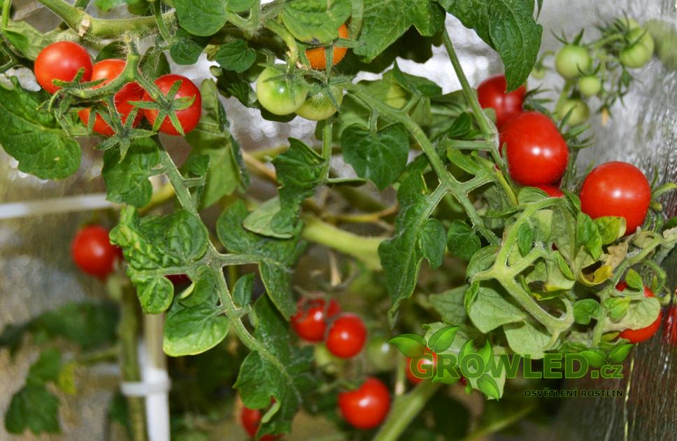 GROWLEDSEED_cherry rajce_pestovani_rostlin