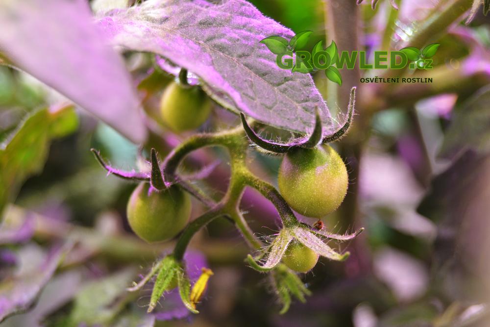 GROWLEDSEED_cherry rajce_pestovani_rostlin_02