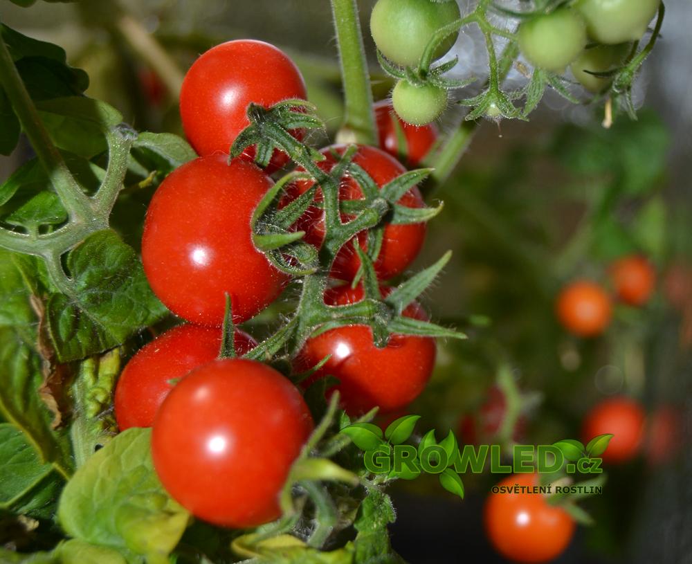 GROWLEDSEED_cherry rajce_pestovani_rostlin_01