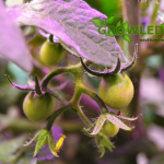 GROWLEDSEED_cherry rajce_pestovani_rostlin_02