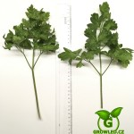 pěstovaní petržele hladkolisté