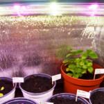 Pestovani_bylinek_indoor_led_osvetleni_GROW_LED_CZ_05